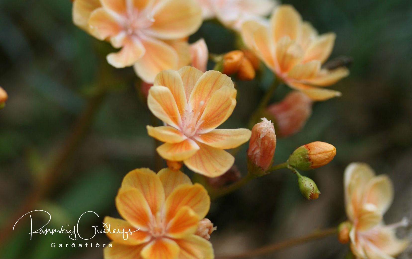 Lewisia cotyledon 'Yellow'