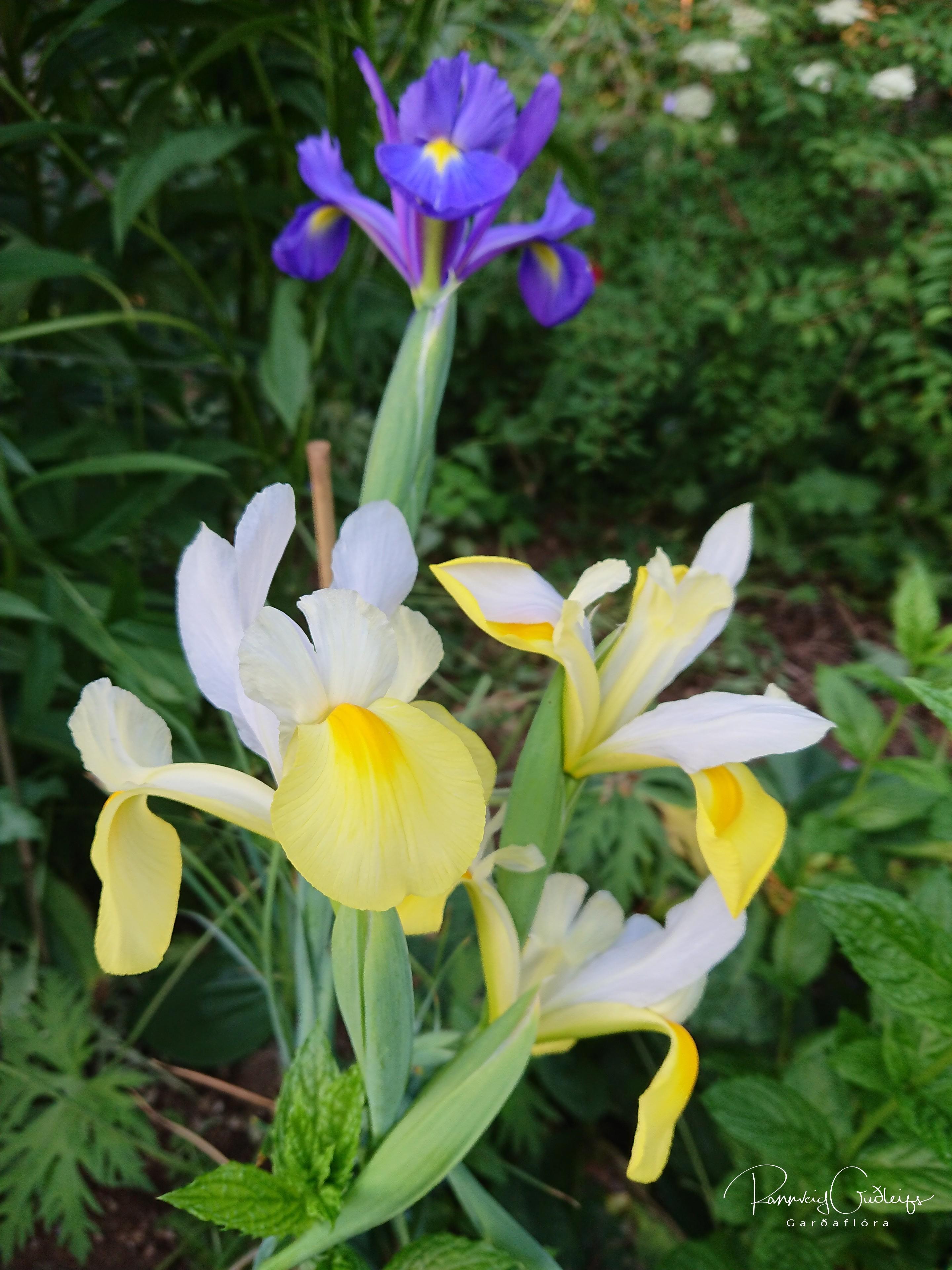 Iris latifolia 'Mix'