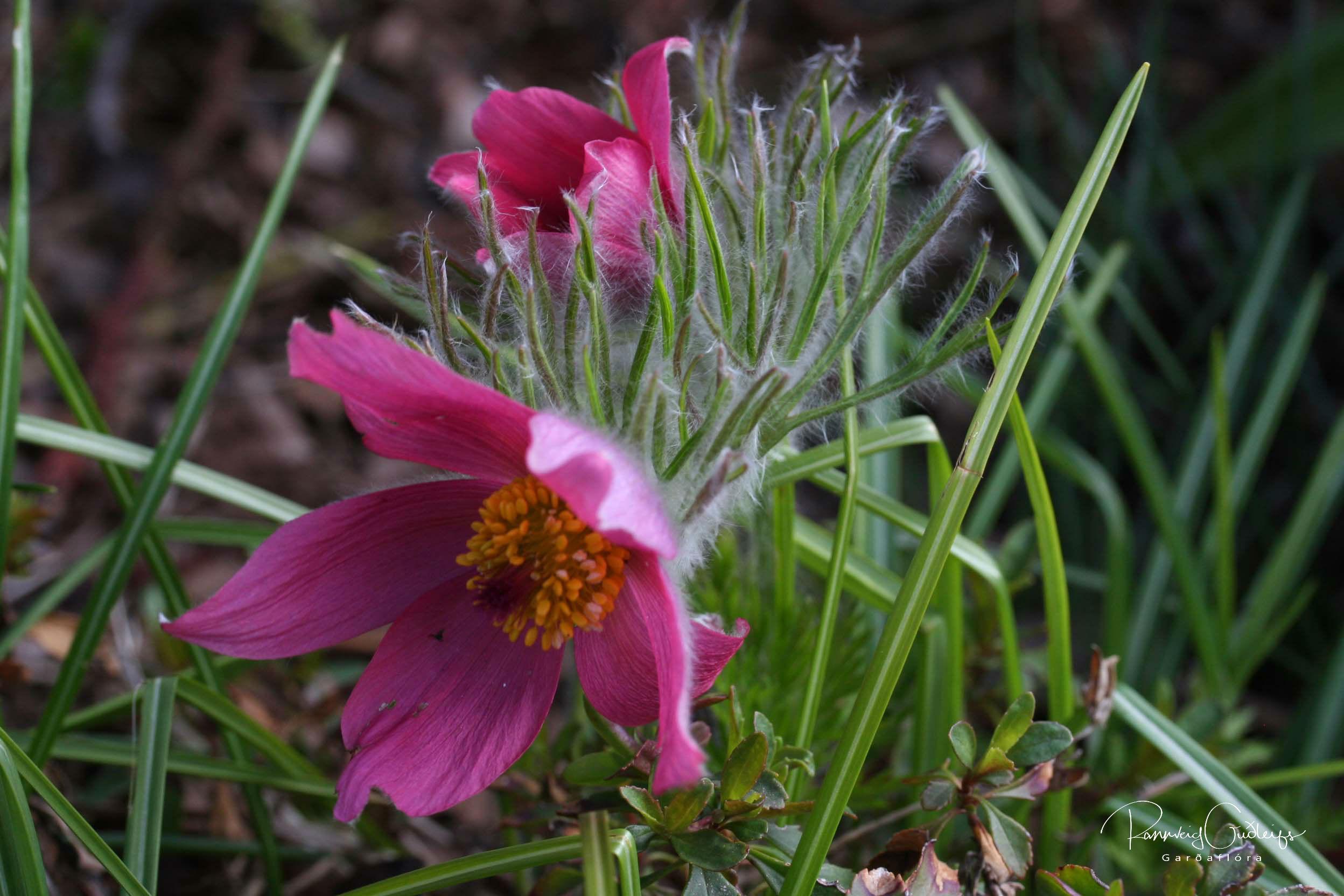 Pulsatilla vulgaris 'Rosea'