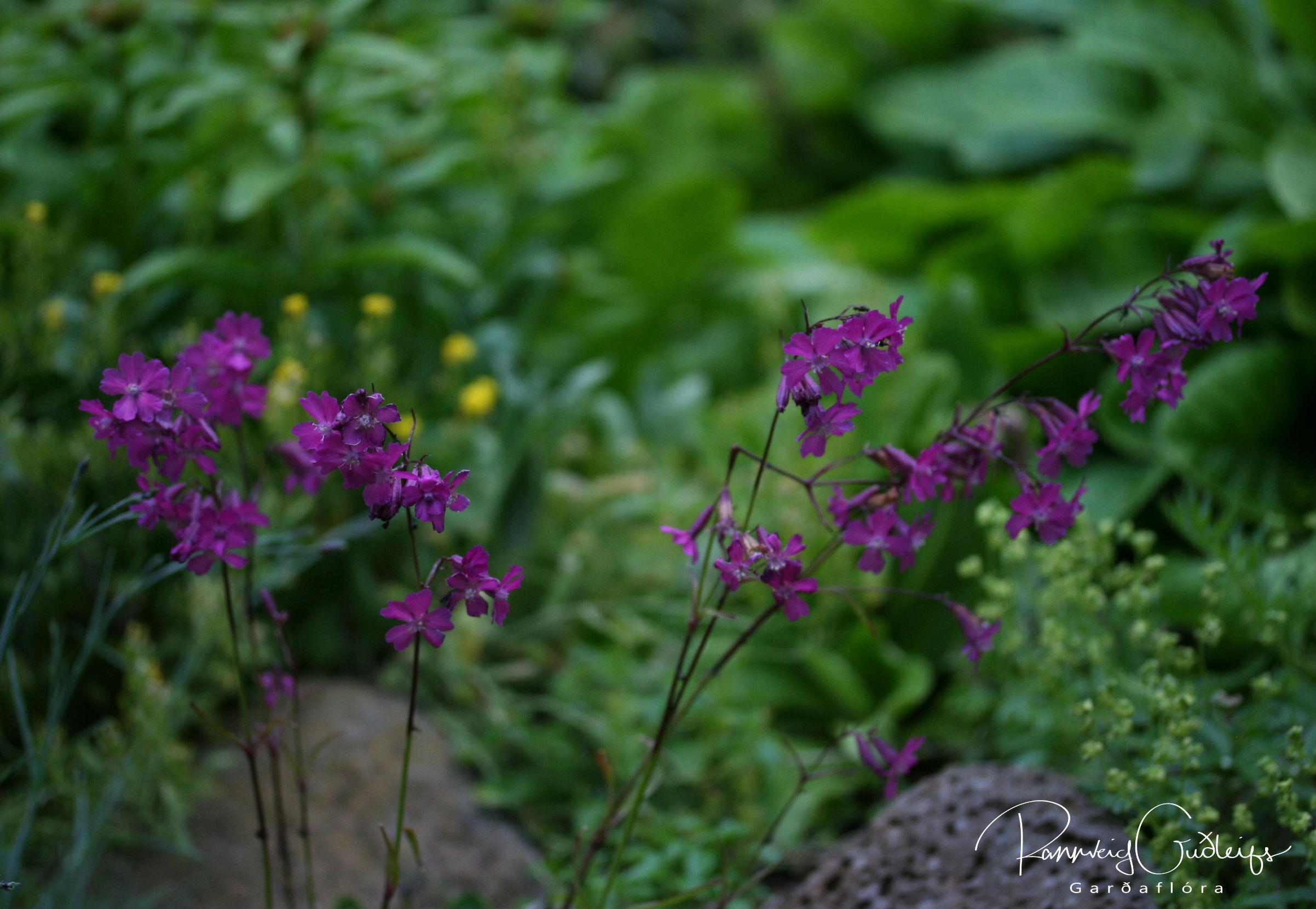 Lychnis viscaria 'Purpurea'
