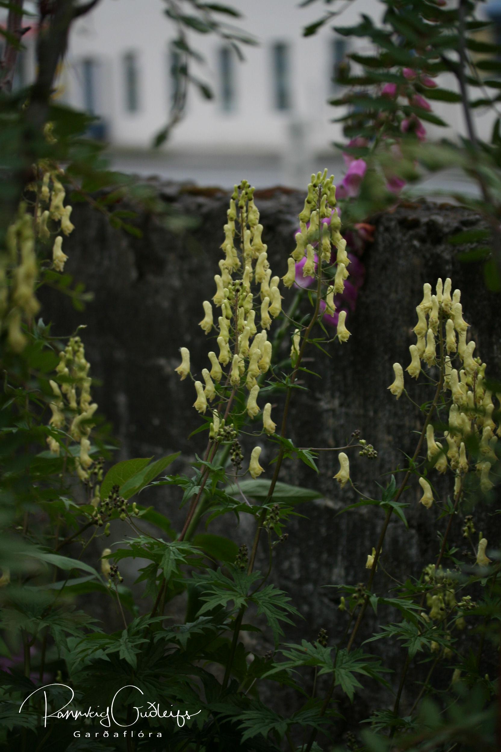 Aconitum lycoctonum ssp. neapolitanum