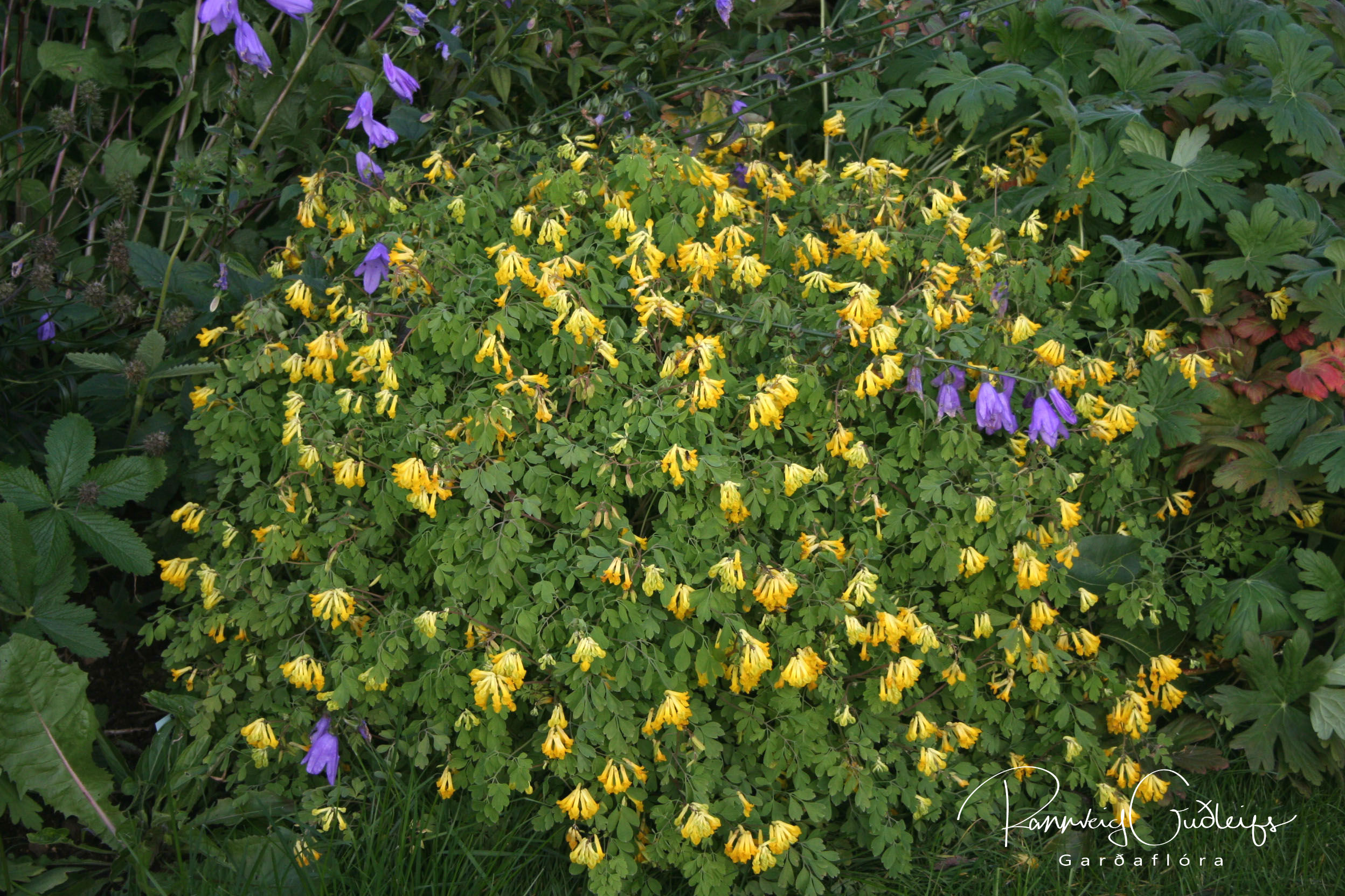 Corydalis lutea (Pseudofumaria lutea)
