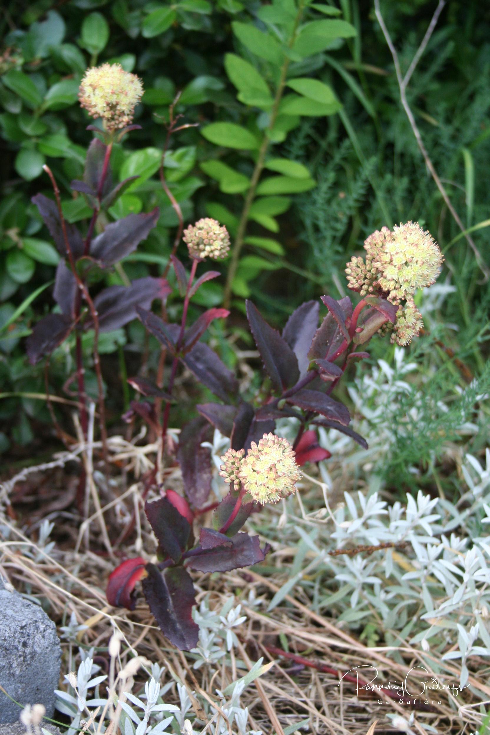 Sedum telephium ssp. ruprechtii