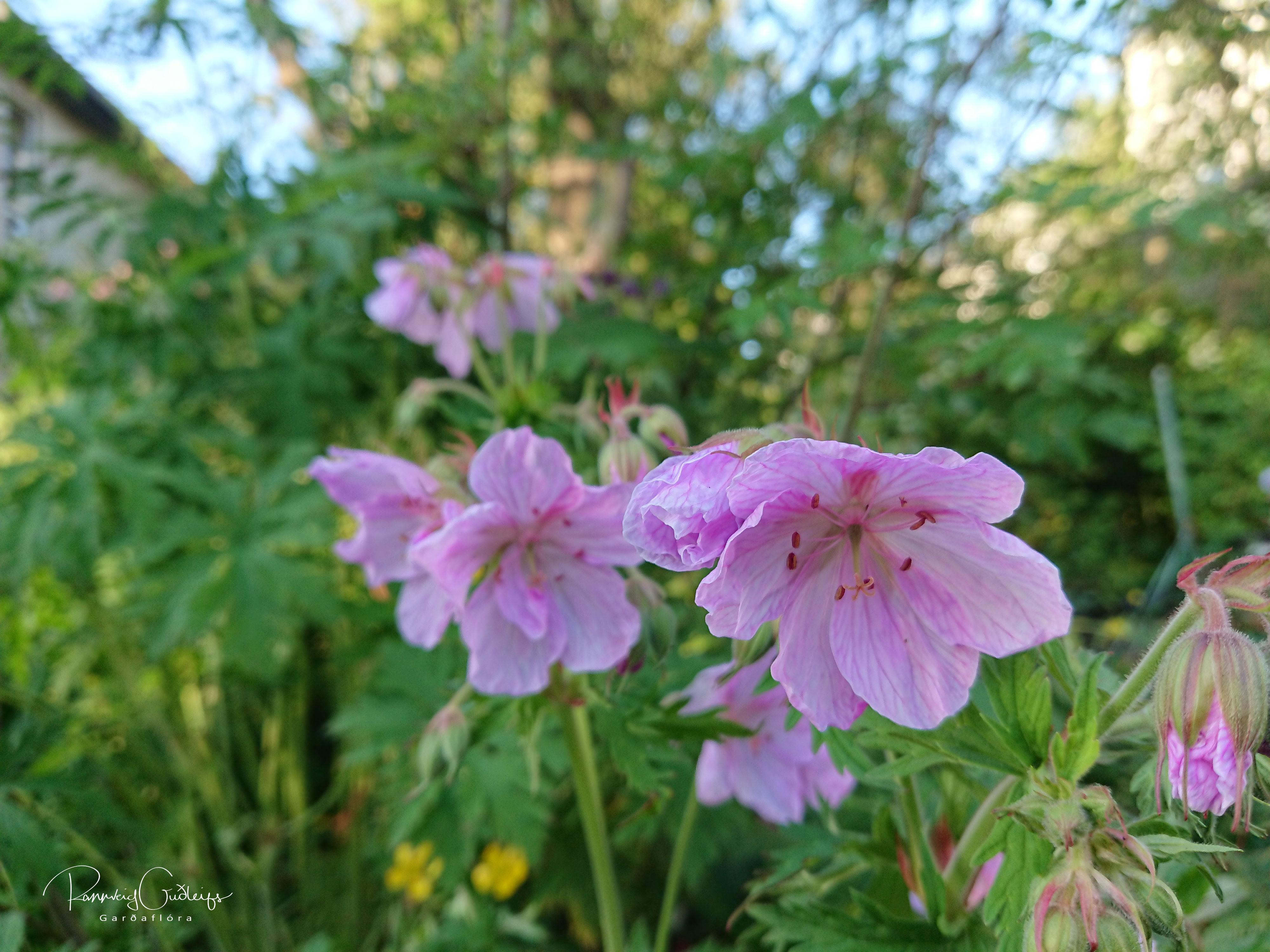 Geranium pratense 'Rose'