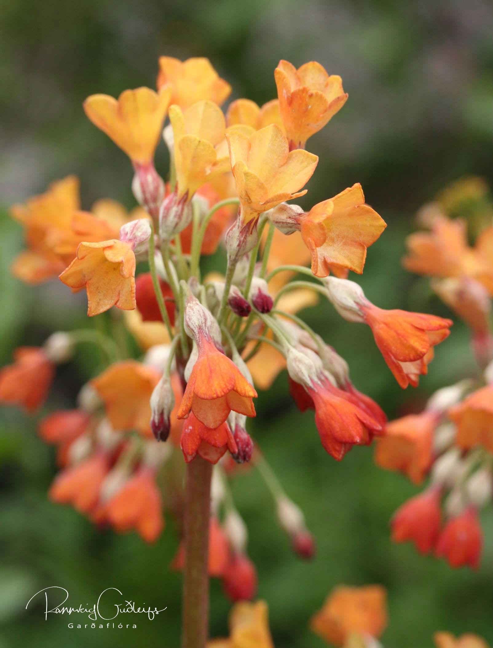Primula florindae 'Copper Shades'