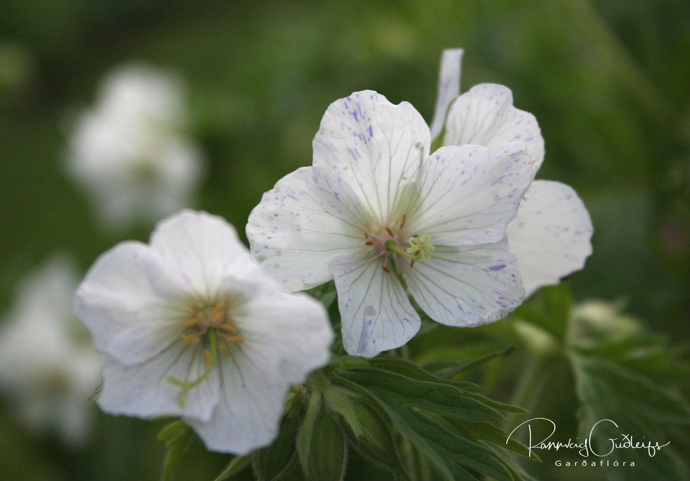 Geranium pratense 'Striatum'