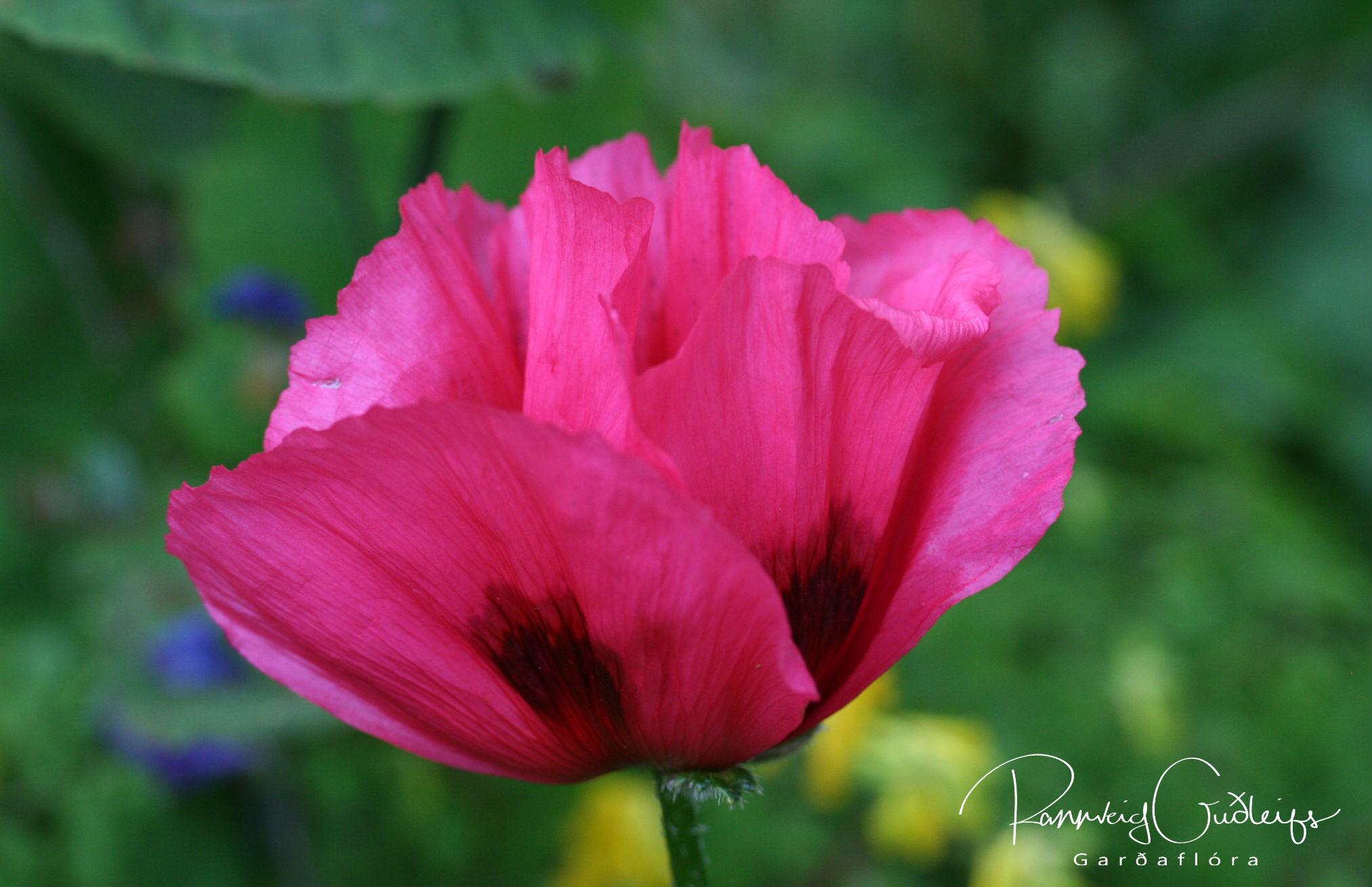 Papaver orientale 'Raspberry Brulee'