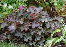 Heuchera 'Emperor's New Clothes'
