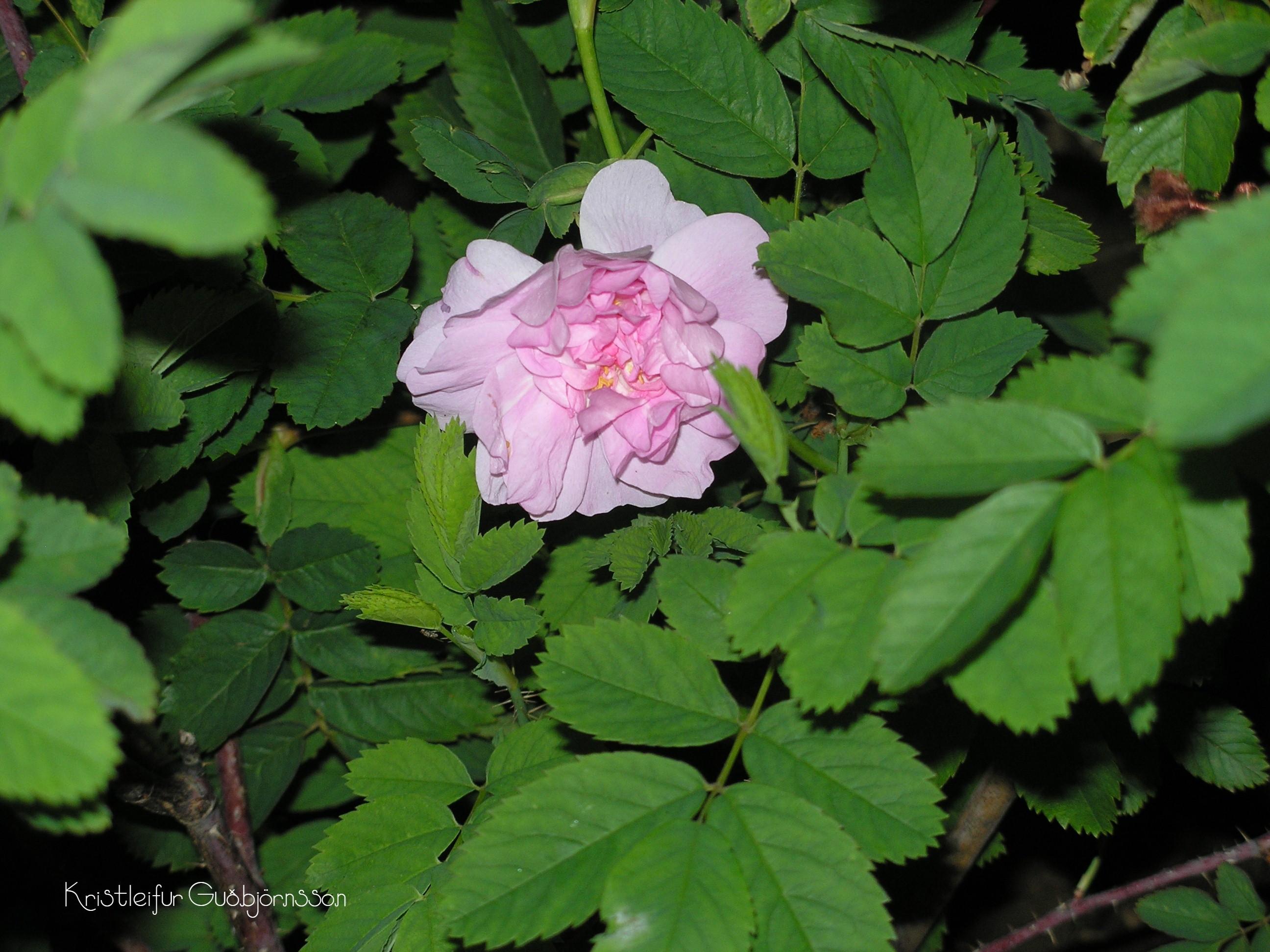 Rosa blanda 'Herttoniemi'