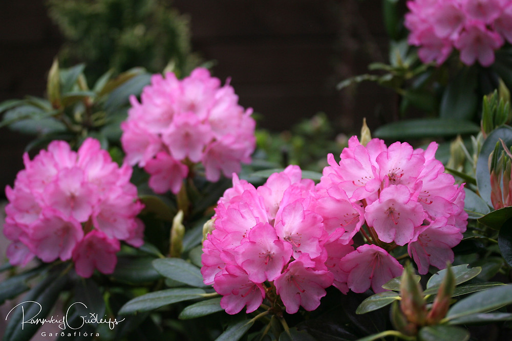 Rhododendron 'Fantastica', pink Rhododendron flowers, Rhododendron bush
