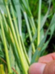 Leaf spot, tan spot /septoria?