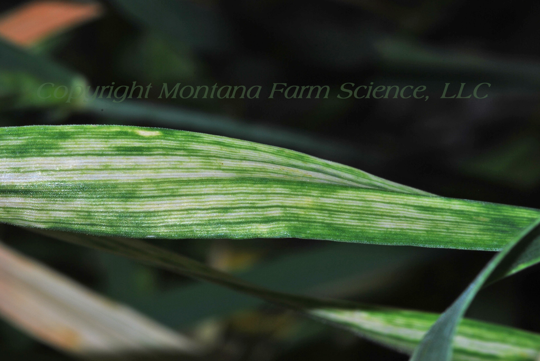 Wheat Streak Mosaic Virus (WSMV)