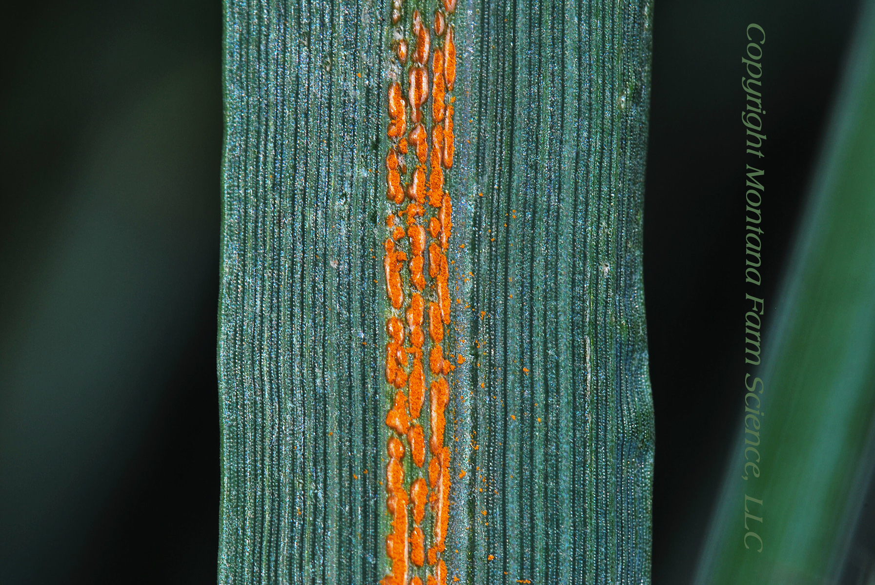 Stripe Rust