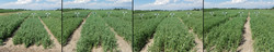Field pea varieties