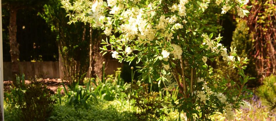 "Roślina miesiąca maja- Obiela ""The Bride"""