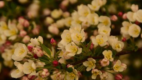 Roślina miesiąca kwietnia - Jabłoń Japońska
