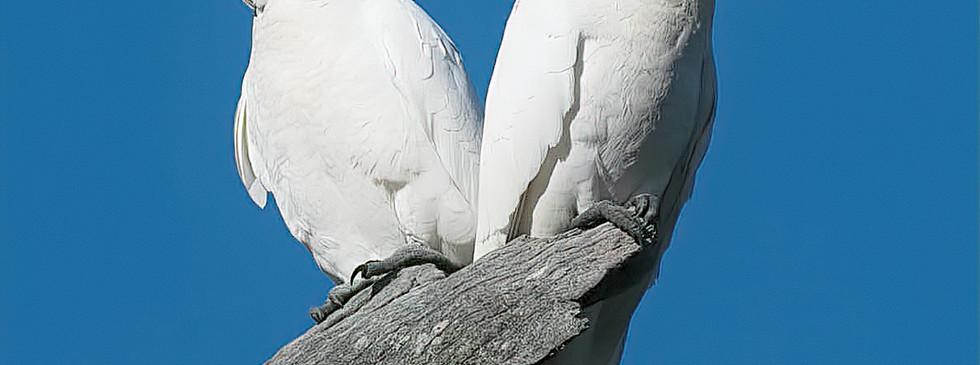Sulphur crested cockatoo Padthaway -.jpg