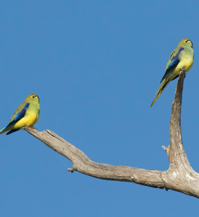 Blue-winged Parrot Padthaway 29 August 2