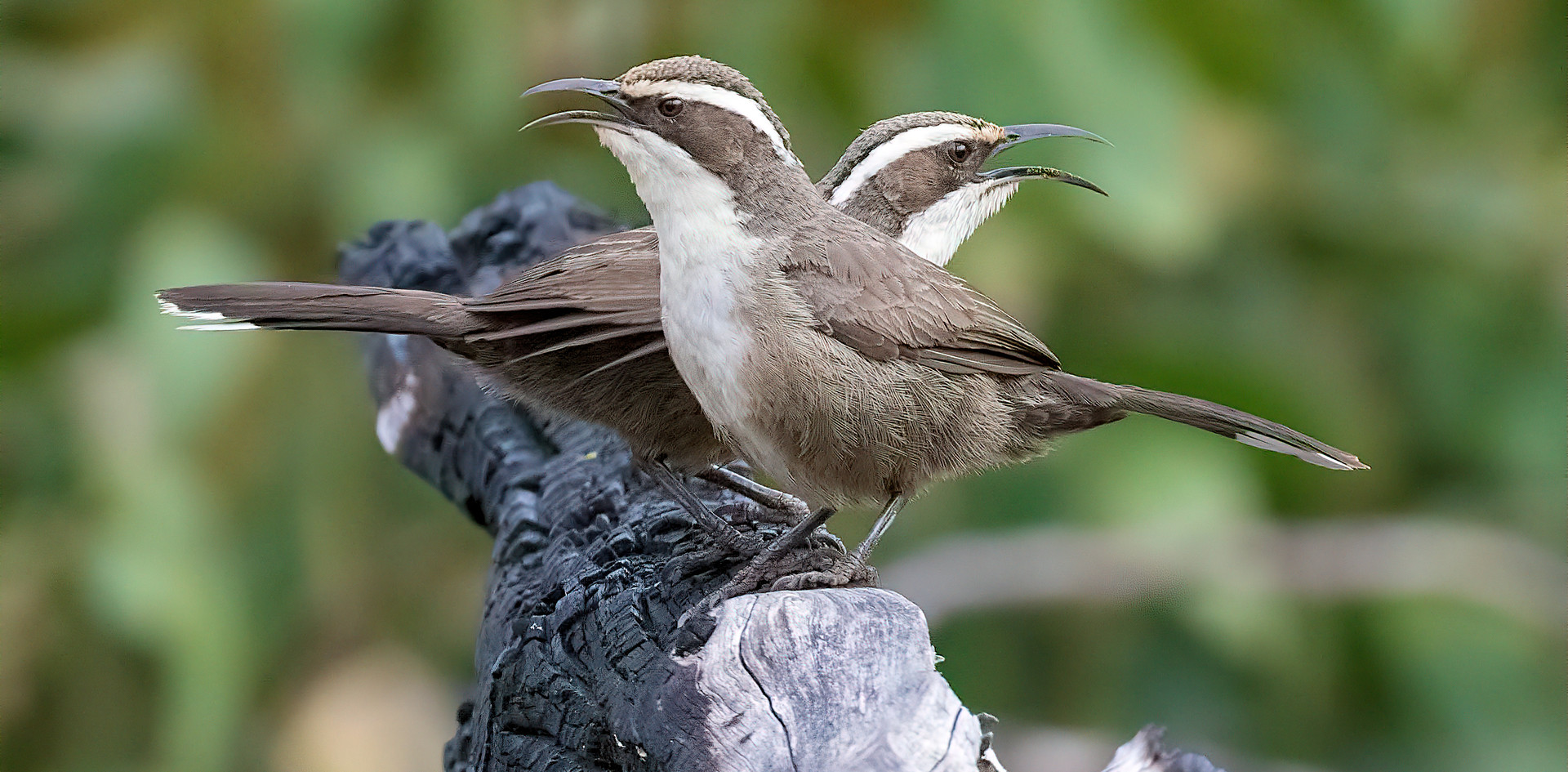 White-browed babblers Padthaway CP 2017.