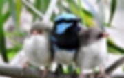 A%20family%20of%20Superb%20Fairy-wrens%2