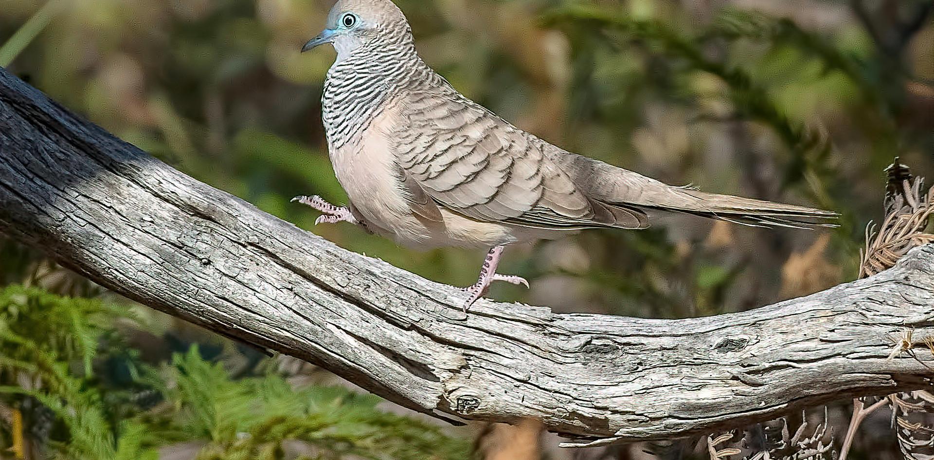 Peaceful dove Padthaway CP 2017.jpg