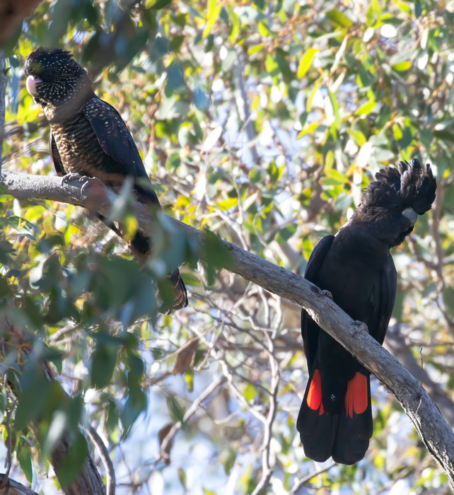 Red-tailed Black Cockatoo Padthaway CP -
