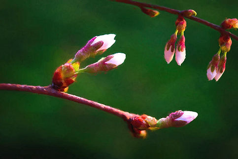 spring-buds-weeping-cherry-tree-tom-mc-n