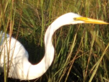 Egret On the bay