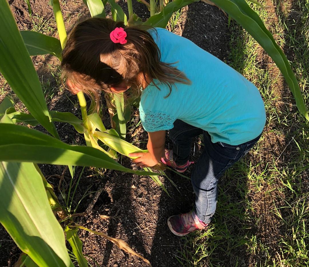 first corn pickin