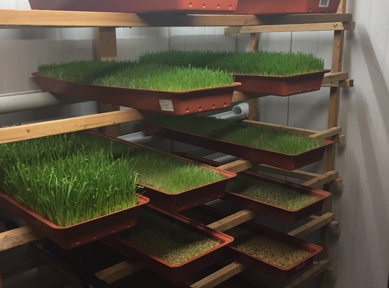 Our grow room for Barley