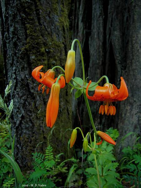 Redwood Lily