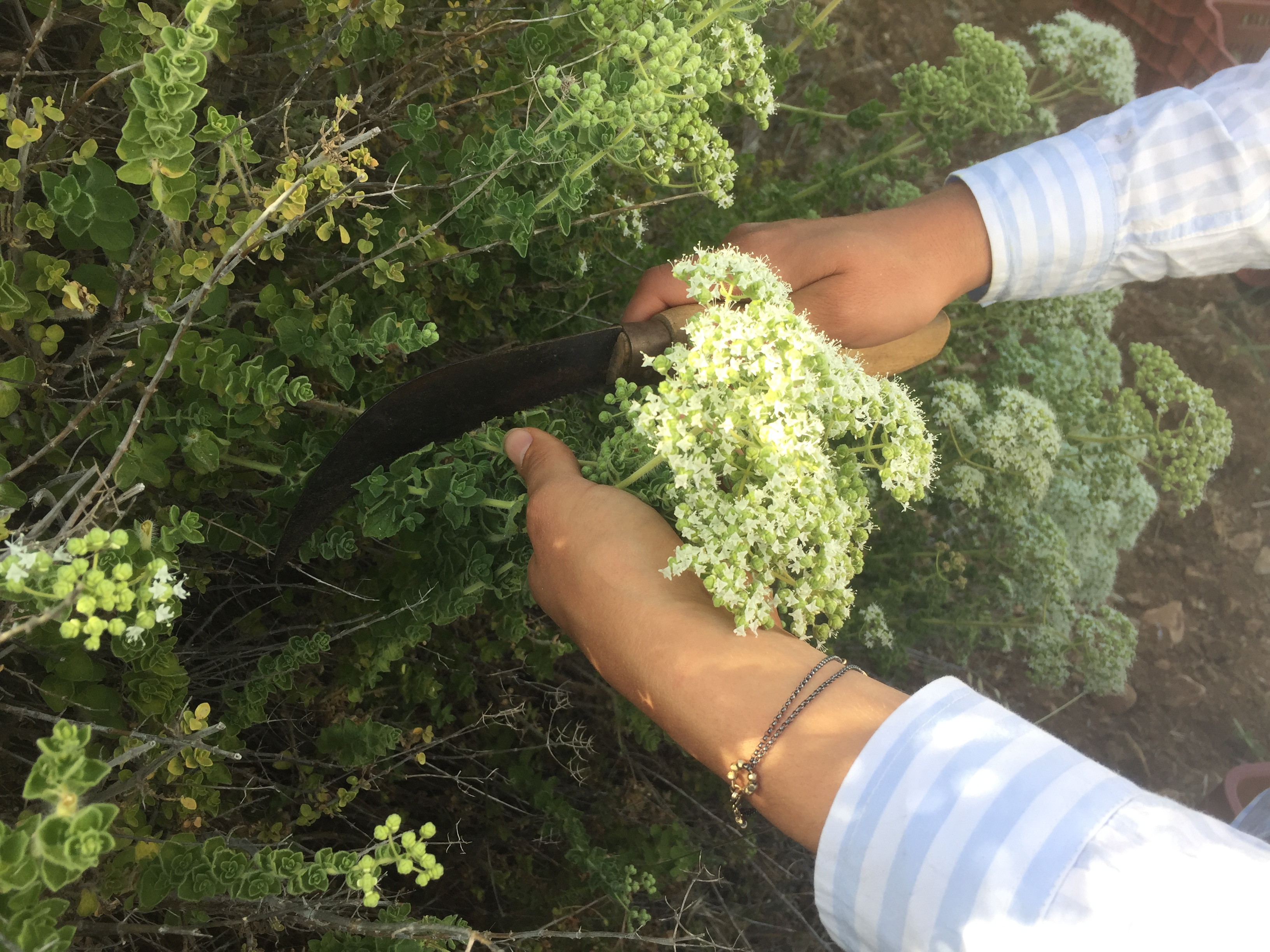 Hand Picked Oregano