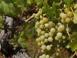 Grapes To Harvest