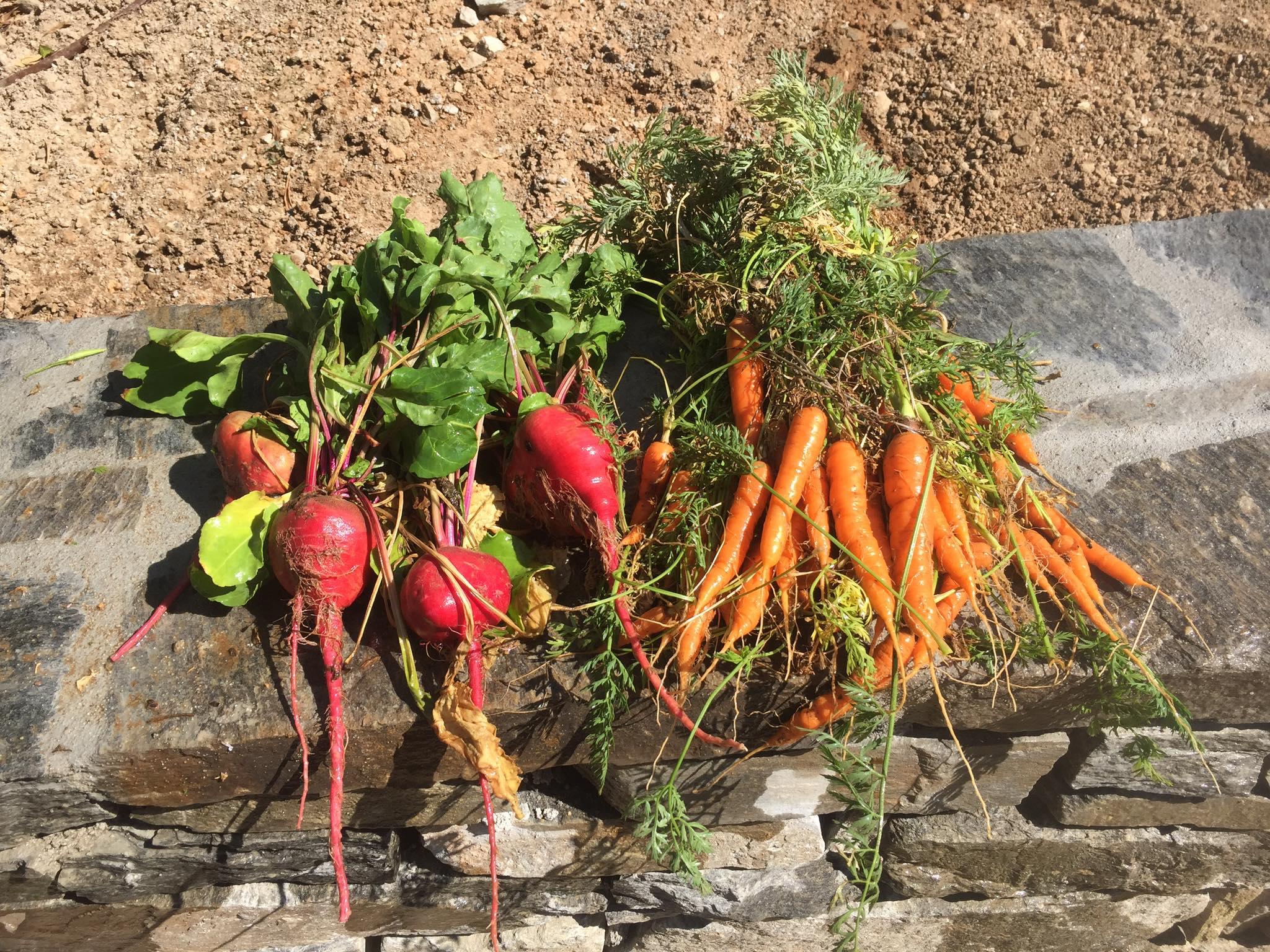 Radish & Carrot Roots