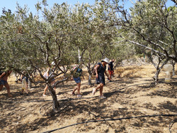 Walk Through The Olive Trees