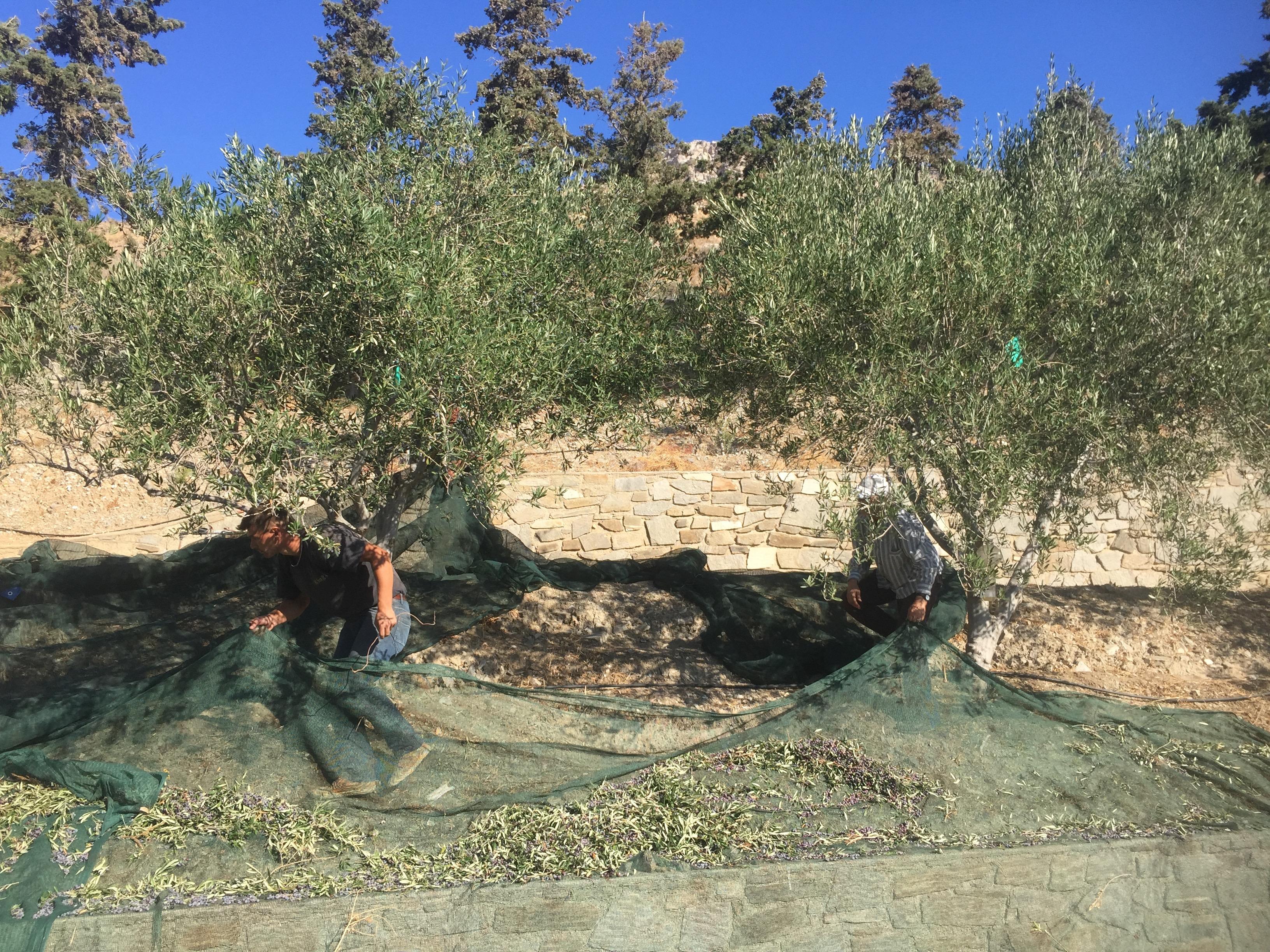 Olive Work