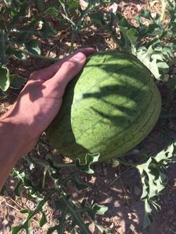Little Watermelon