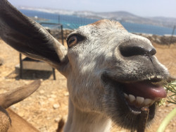 Billy the goat!