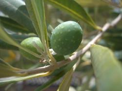 Olive Textures