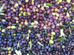 Olives in Colour