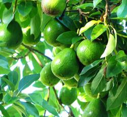 seguro para abacate
