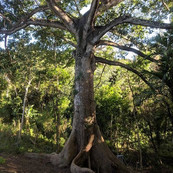 One of the big Ceiba trees in the course