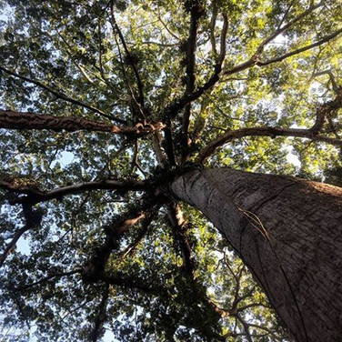 Under the Ceiba tree