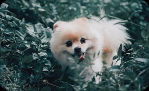 Service dog breeds India - Pomeranian