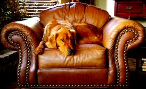 dog on leather sofa