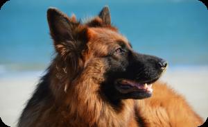 Service dog breeds India - German shepherd