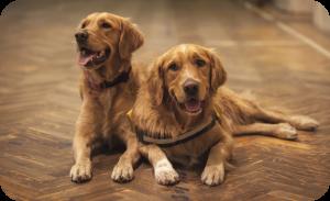 Service dog breeds India - Golden retriever