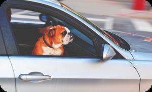 Prepare dog road trip - Dog taking city ride