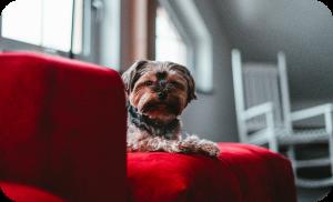 puppy on a luxurious silk sofa