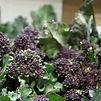 680x450 purple sprouting broccoli.jpg